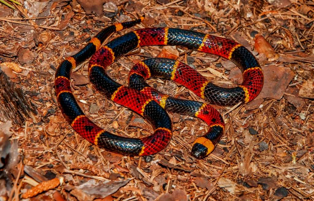 Venomous Snakes of the Carolinas: Rattlers and Coral Snakes